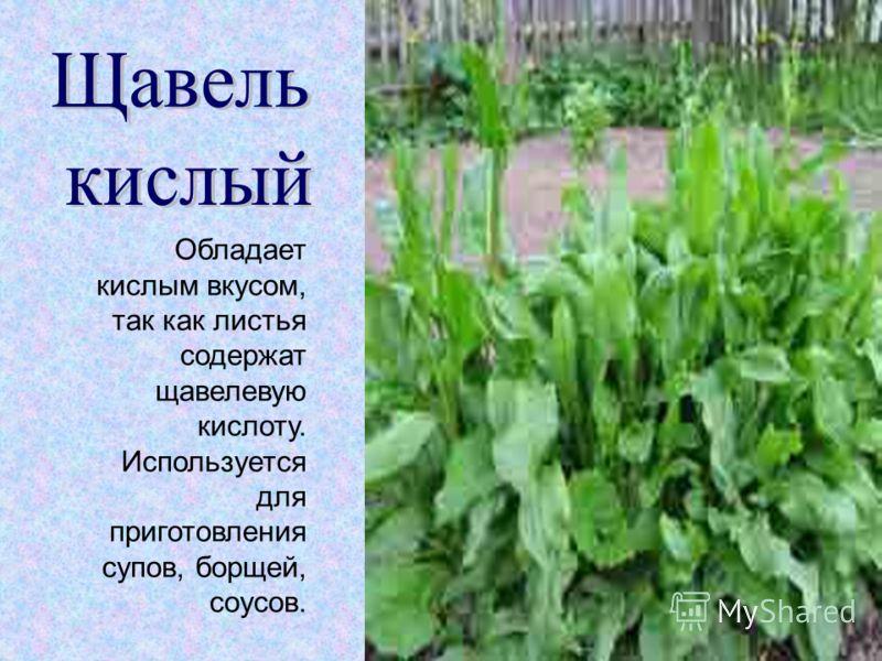 Обладает кислым вкусом, так как листья содержат щавелевую кислоту. Используется для приготовления супов, борщей, соусов.