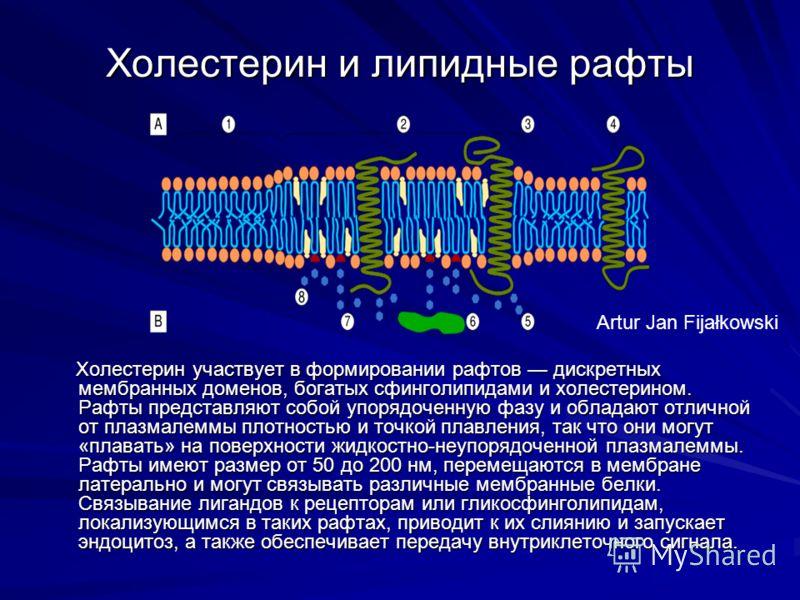 Холестерин и липидные рафты Холестерин участвует в формировании рафтов дискретных мембранных доменов, богатых сфинголипидами и холестерином. Рафты представляют собой упорядоченную фазу и обладают отличной от плазмалеммы плотностью и точкой плавления,