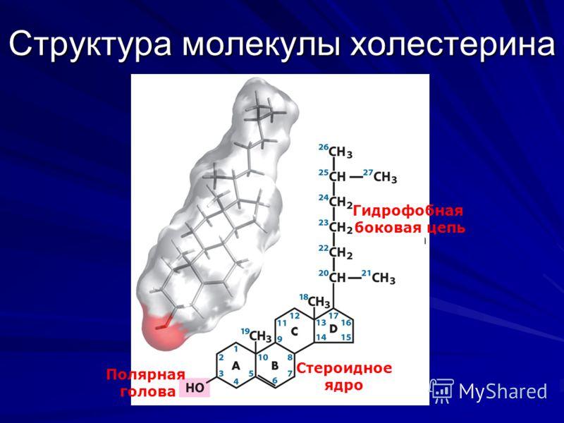 Структура молекулы холестерина Полярная голова Стероидное ядро Гидрофобная боковая цепь