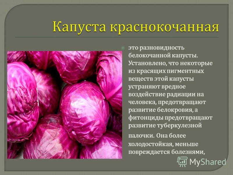 это разновидность белокочанной капусты. Установлено, что некоторые из красящих пигментных веществ этой капусты устраняют вредное воздействие радиации на человека, предотвращают развитие белокровия, а фитонциды предотвращают развитие туберкулезной пал