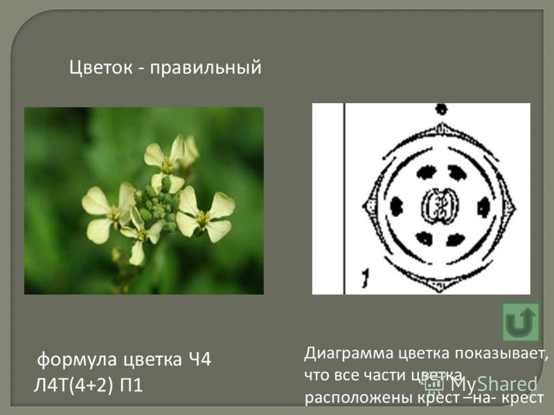 формула цветка Ч4 Л4Т(4+2) П1 Цветок - правильный Диаграмма цветка показывает, что все части цветка расположены крест –на- крест