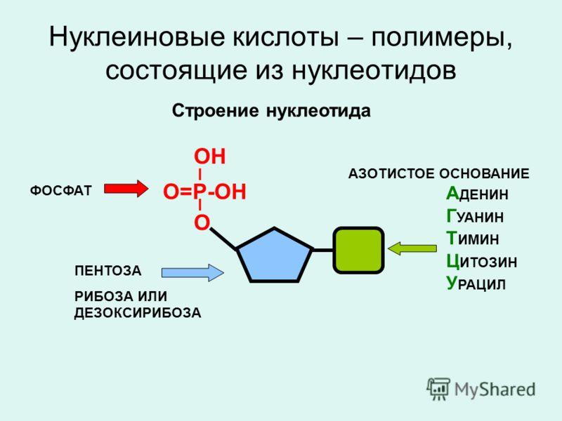 Нуклеиновые кислоты – полимеры, состоящие из нуклеотидов О=Р-ОН I I О ОН Строение нуклеотида ФОСФАТ ПЕНТОЗА РИБОЗА ИЛИ ДЕЗОКСИРИБОЗА А ДЕНИН Г УАНИН Т ИМИН Ц ИТОЗИН У РАЦИЛ АЗОТИСТОЕ ОСНОВАНИЕ