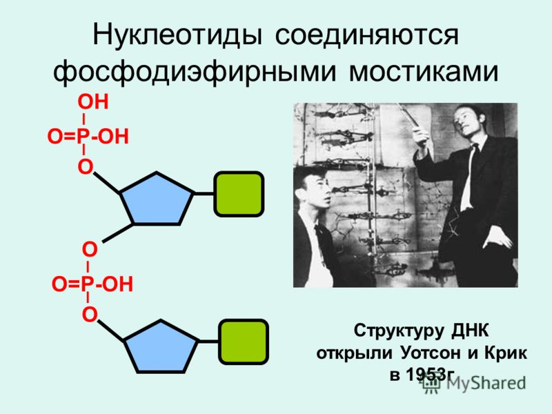 Нуклеотиды соединяются фосфодиэфирными мостиками О=Р-ОН I I О ОН О=Р-ОН I I О О Структуру ДНК открыли Уотсон и Крик в 1953г