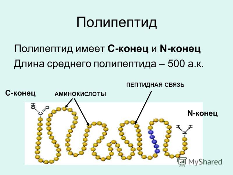 Полипептид Полипептид имеет С-конец и N-конец Длина среднего полипептида – 500 а.к. С-конец N-конец АМИНОКИСЛОТЫ ПЕПТИДНАЯ СВЯЗЬ