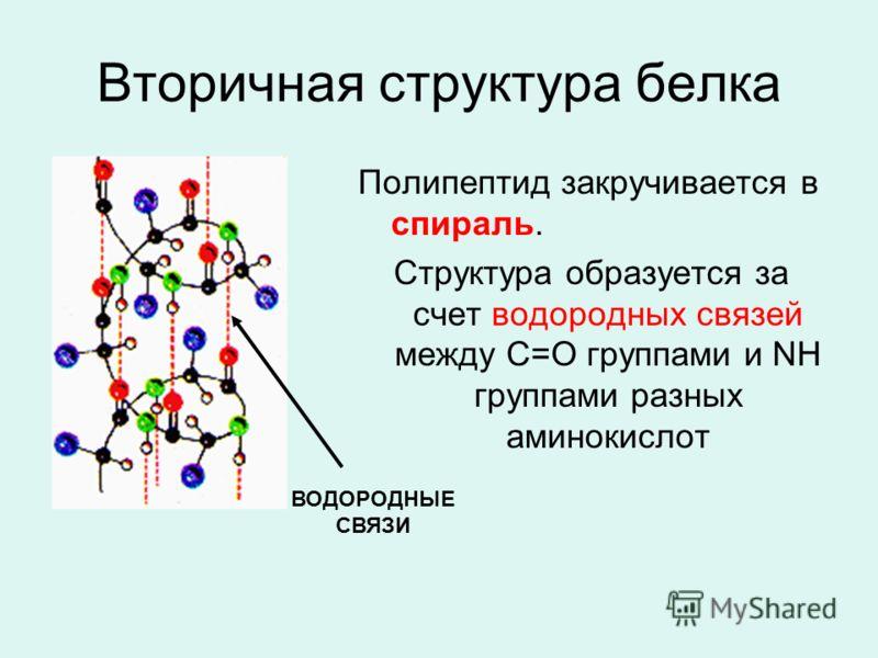 Вторичная структура белка Полипептид закручивается в спираль. Структура образуется за счет водородных связей между С=О группами и NH группами разных аминокислот ВОДОРОДНЫЕ СВЯЗИ