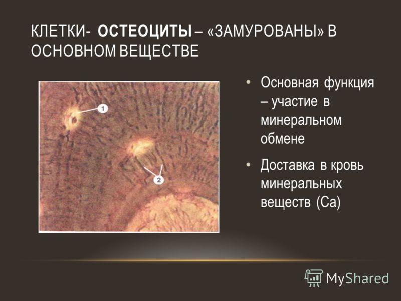 КЛЕТКИ- ОСТЕОЦИТЫ – «ЗАМУРОВАНЫ» В ОСНОВНОМ ВЕЩЕСТВЕ Основная функция – участие в минеральном обмене Доставка в кровь минеральных веществ (Са)