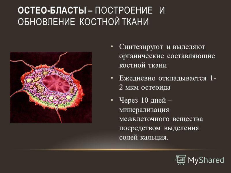 ОСТЕО-БЛАСТЫ – ПОСТРОЕНИЕ И ОБНОВЛЕНИЕ КОСТНОЙ ТКАНИ Синтезируют и выделяют органические составляющие костной ткани Ежедневно откладывается 1- 2 мкм остеоида Через 10 дней – минерализация межклеточного вещества посредством выделения солей кальция.