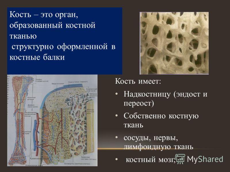 Кость имеет: Надкостницу (эндост и переост) Собственно костную ткань сосуды, нервы, лимфоидную ткань костный мозг, Кость – это орган, образованный костной тканью структурно оформленной в костные балки