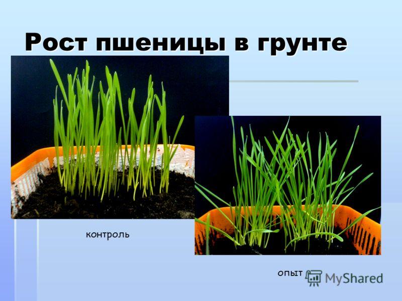 Рост пшеницы в грунте контроль опыт