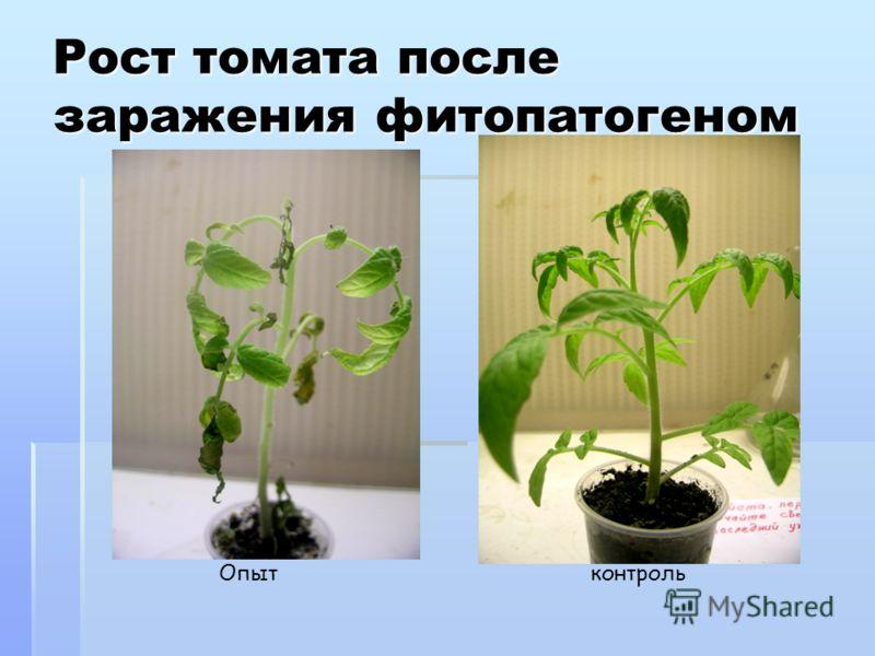 Рост томата после заражения фитопатогеном Опытконтроль