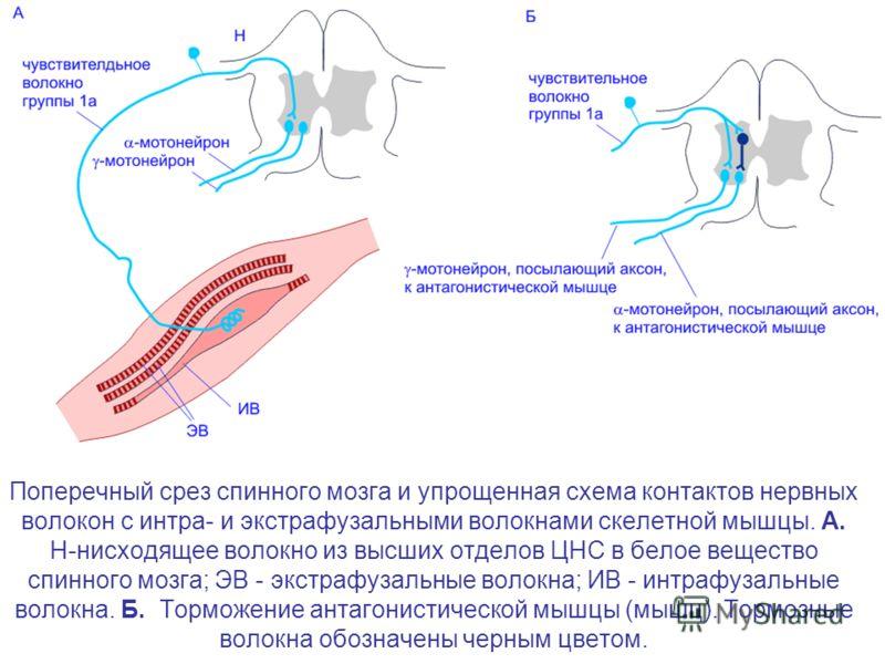 Поперечный срез спинного мозга и упрощенная схема контактов нервных волокон с интра- и экстрафузальными волокнами скелетной мышцы. А. Н-нисходящее волокно из высших отделов ЦНС в белое вещество спинного мозга; ЭВ - экстрафузальные волокна; ИВ - интра