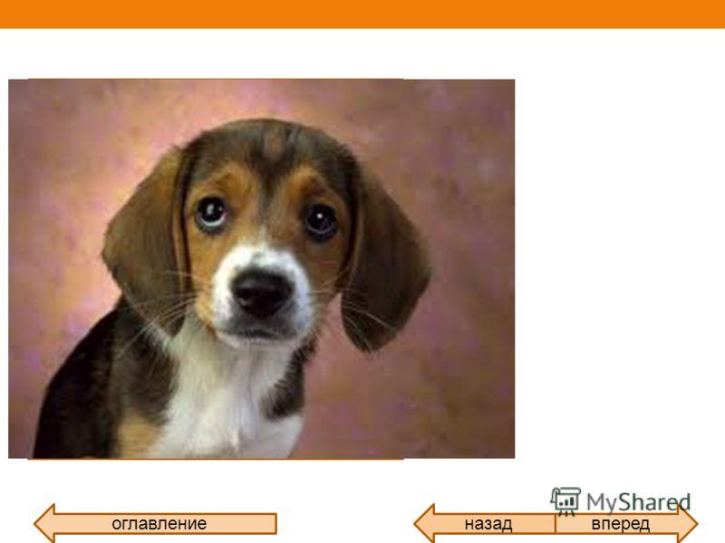 назадоглавлениевперед Собака домашнее животное, одно из наиболее распространённых «животных- компаньонов». Первоначально домашняя собака была отнесена в отдельный биологический вид Линеем в 1758 году, в 1993 году реклассифицирована Смитсоновским инст
