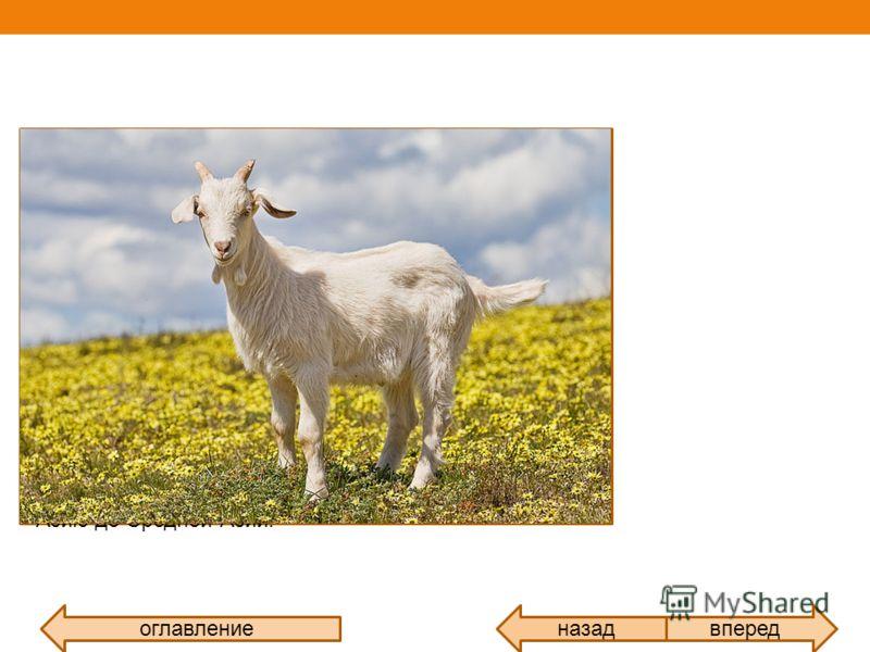 оглавлениевпередназад Домашняя коза домашнее животное из рода горные козлы, семейства полорогих. Коза одно из первых прирученных животных. Одомашнена на Ближнем Востоке, приблизительно 9 000 лет назад. Предком домашней козы был дикий бородатый безоар