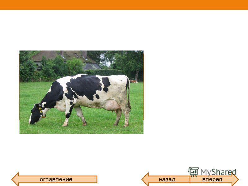 оглавлениевпередназад Корова самка домашнего быка, одомашненного подвида дикого быка, парнокопытного жвачного животного семейства полорогих. Разводится для получения мяса, молока и кожи. Самцы вида называются быками, молодняк телятами. Различают мясн