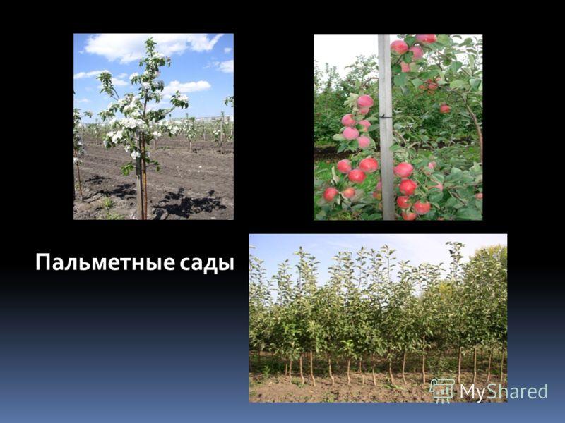 Пальметные сады