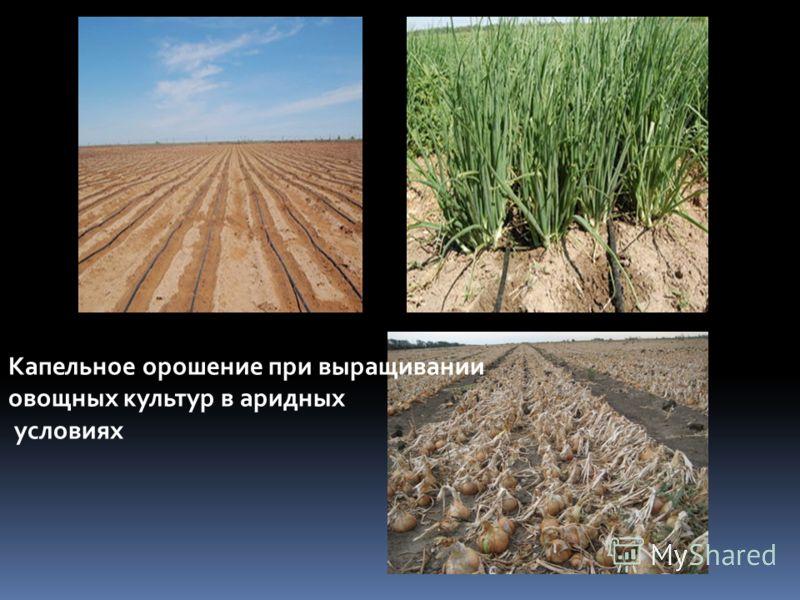 Капельное орошение при выращивании овощных культур в аридных условиях