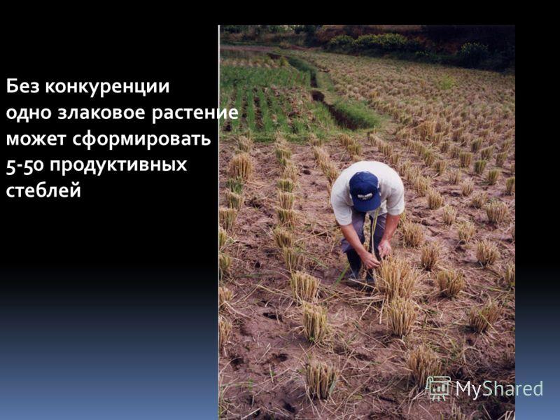 Без конкуренции одно злаковое растение может сформировать 5-50 продуктивных стеблей