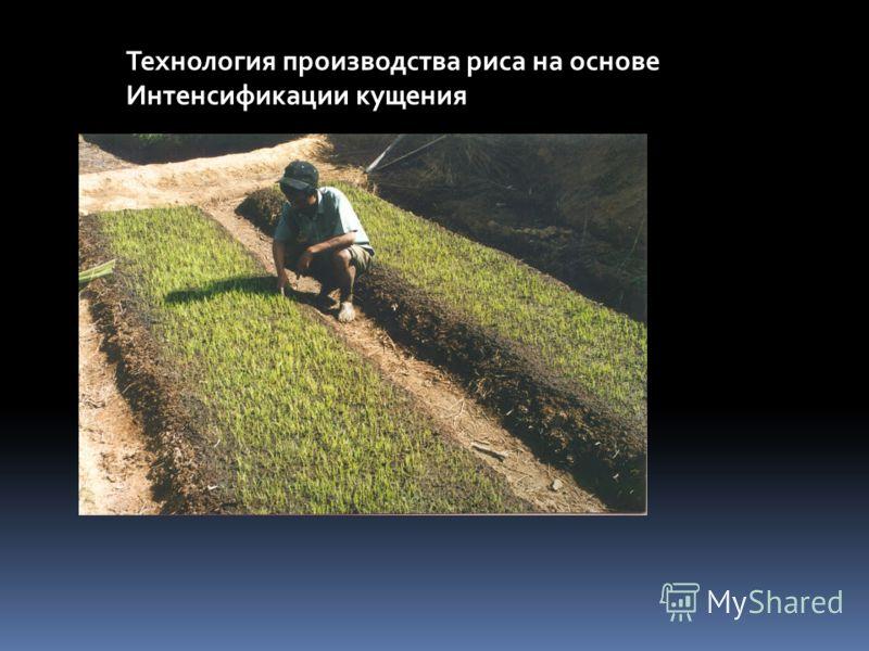 Технология производства риса на основе Интенсификации кущения