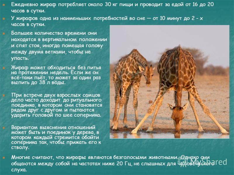 Многие считают, что жирафы являются безголосыми животными. Однако они общаются между собой на частотах ниже 20 Гц, не слышных для человеческого слуха. Большее количество времени они находятся в вертикальном положении и спят стоя, иногда помещая голов