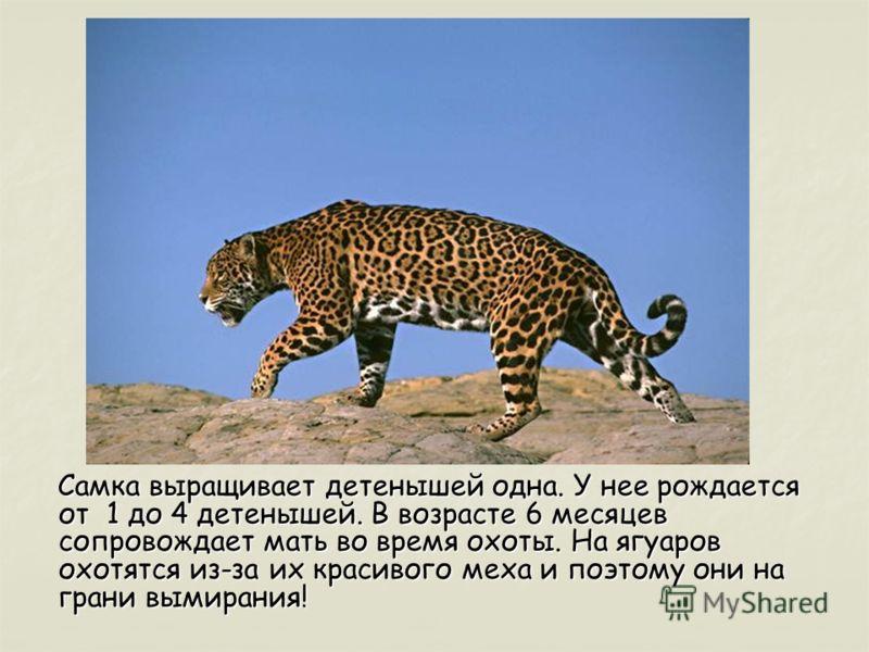 Самка выращивает детенышей одна. У нее рождается от 1 до 4 детенышей. В возрасте 6 месяцев сопровождает мать во время охоты. На ягуаров охотятся из-за их красивого меха и поэтому они на грани вымирания!