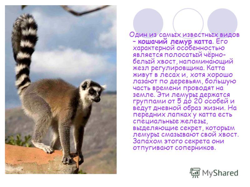 Один из самых известных видов – кошачий лемур катта. Его характерной особенностью является полосатый чёрно- белый хвост, напоминающий жезл регулировщика. Катта живут в лесах и, хотя хорошо лазают по деревьям, большую часть времени проводят на земле.