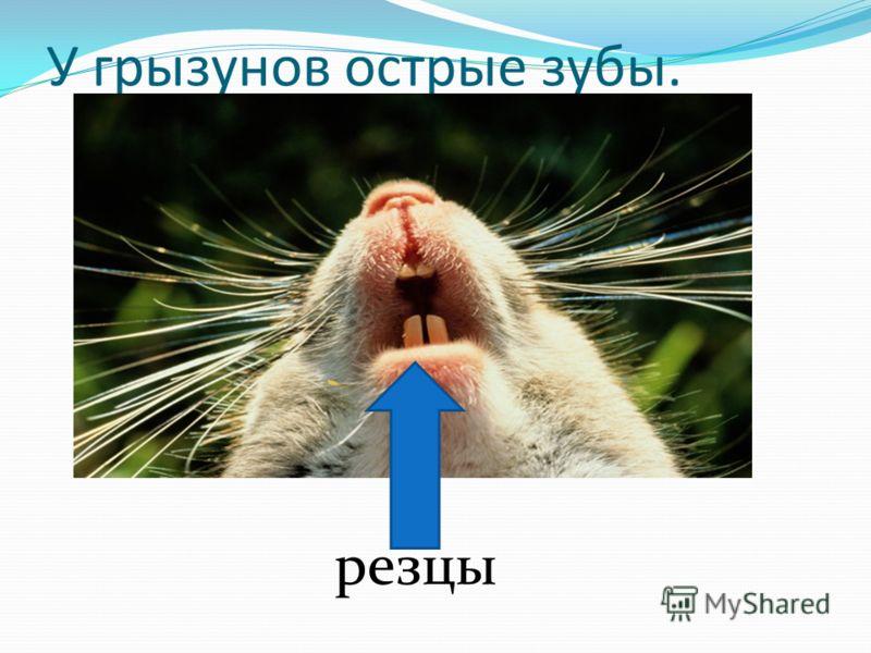 У грызунов острые зубы. резцы