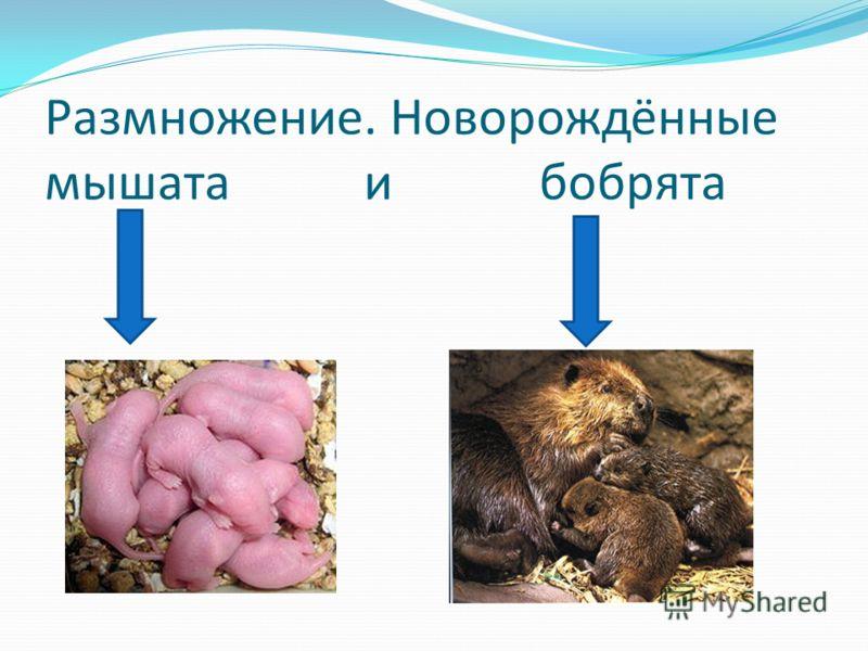 Размножение. Новорождённые мышата и бобрята
