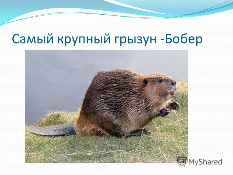 Самый крупный грызун -Бобер