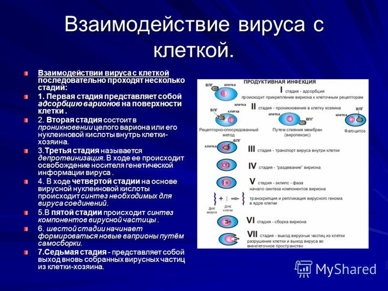 Взаимодействие вируса с клеткой. Взаимодействии вируса с клеткой последовательно проходят несколько стадий: 1. Первая стадия представляет собой адсорбцию варионов на поверхности клетки. 2. Вторая стадия состоит в проникновении целого вариона или его