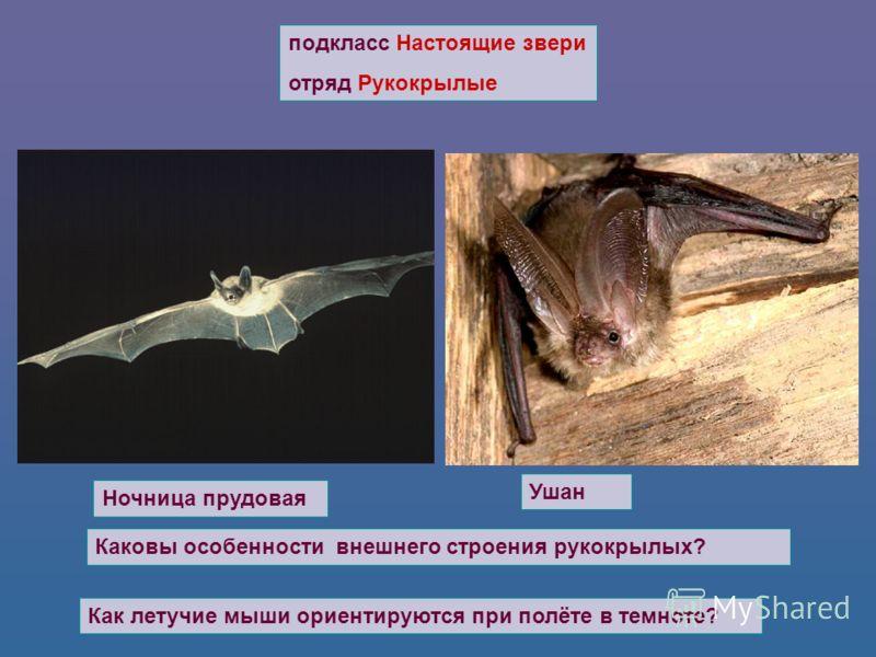 подкласс Настоящие звери отряд Рукокрылые Ушан Ночница прудовая Каковы особенности внешнего строения рукокрылых? Как летучие мыши ориентируются при полёте в темноте?