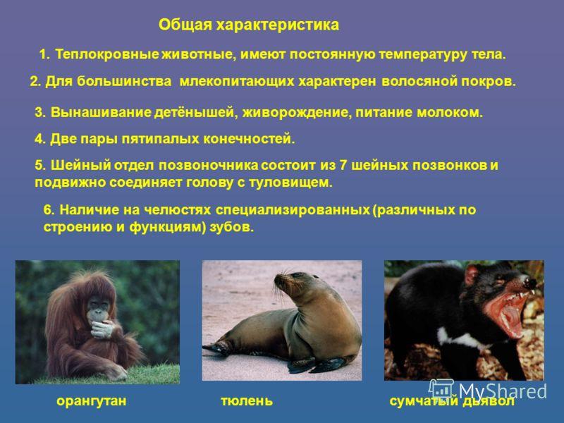 Общая характеристика 1. Теплокровные животные, имеют постоянную температуру тела. 2. Для большинства млекопитающих характерен волосяной покров. 3. Вынашивание детёнышей, живорождение, питание молоком. 4. Две пары пятипалых конечностей. 5. Шейный отде