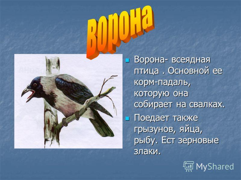ворона Ворона- всеядная птица. Основной ее корм-падаль, которую она собирает на свалках. Ворона- всеядная птица. Основной ее корм-падаль, которую она собирает на свалках. Поедает также грызунов, яйца, рыбу. Ест зерновые злаки. Поедает также грызунов,