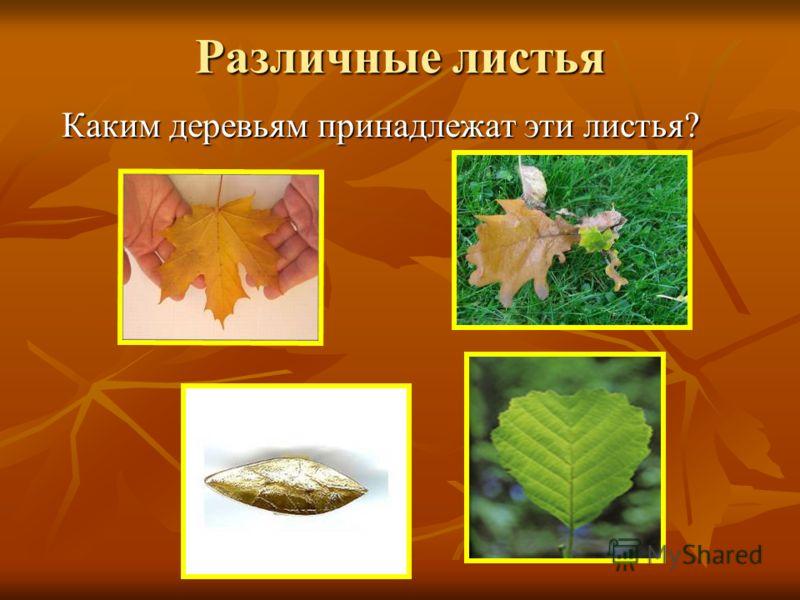 Различные листья Каким деревьям принадлежат эти листья?