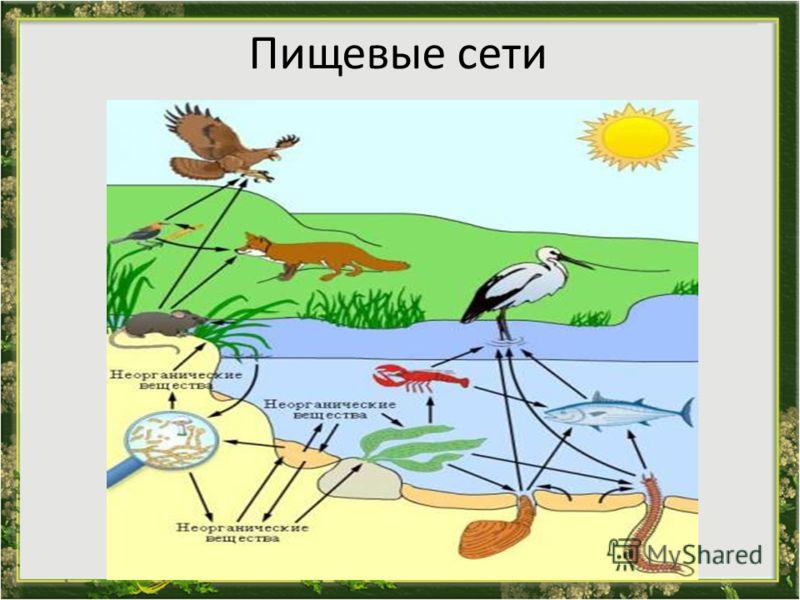Пищевые сети