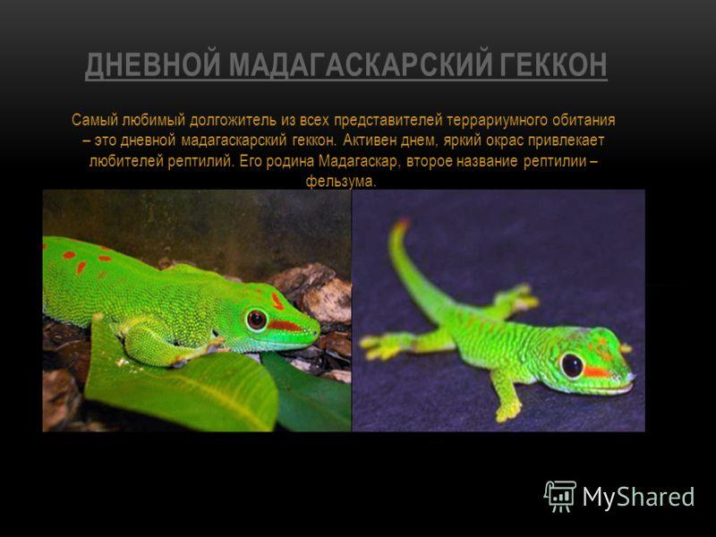 Самый любимый долгожитель из всех представителей террариумного обитания – это дневной мадагаскарский геккон. Активен днем, яркий окрас привлекает любителей рептилий. Его родина Мадагаскар, второе название рептилии – фельзума. ДНЕВНОЙ МАДАГАСКАРСКИЙ Г