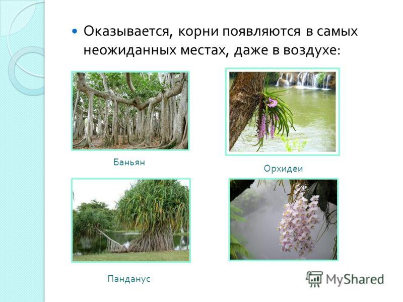 Оказывается, корни появляются в самых неожиданных местах, даже в воздухе : Баньян Панданус Орхидеи