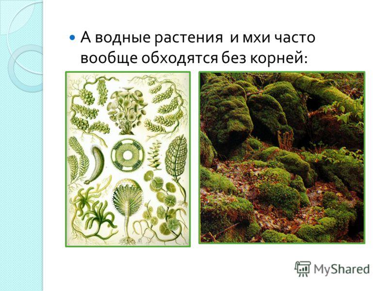 А водные растения и мхи часто вообще обходятся без корней :