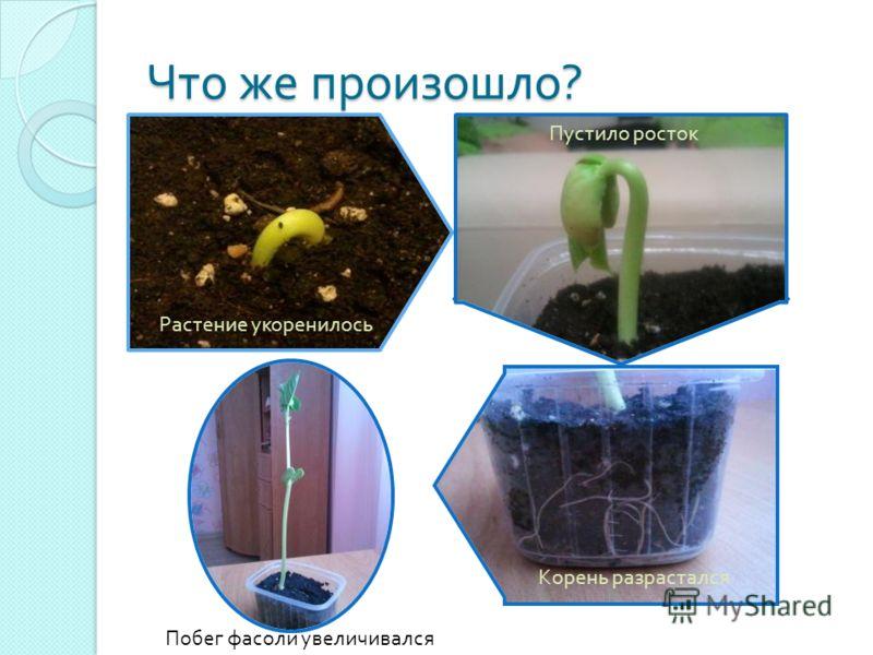 Что же произошло ? Растение укоренилось Пустило росток Корень разрастался Побег фасоли увеличивался