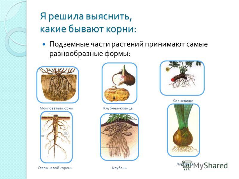 Я решила выяснить, какие бывают корни : Подземные части растений принимают самые разнообразные формы : Мочковатые корни Корневище Стержневой кореньКлубень Луковица Клубнелуковица