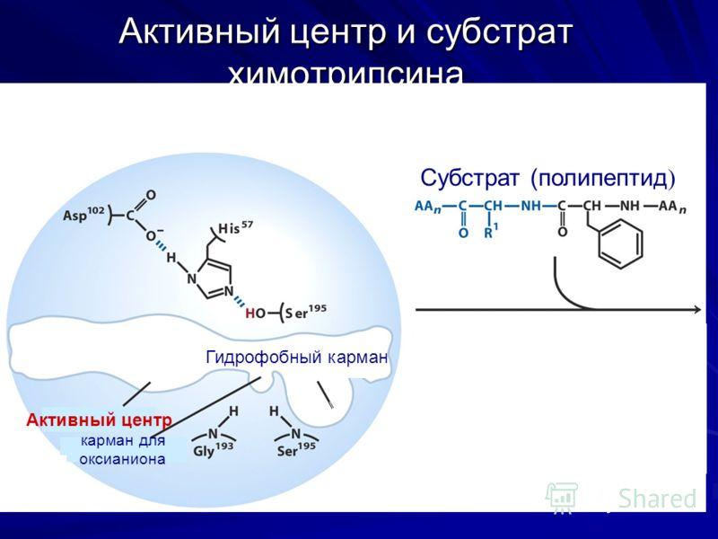 Активный центр и субстрат химотрипсина Активный центр химотрипсина Субстрат (полипептид ) Гидрофобный карман Активный центр карман для оксианиона