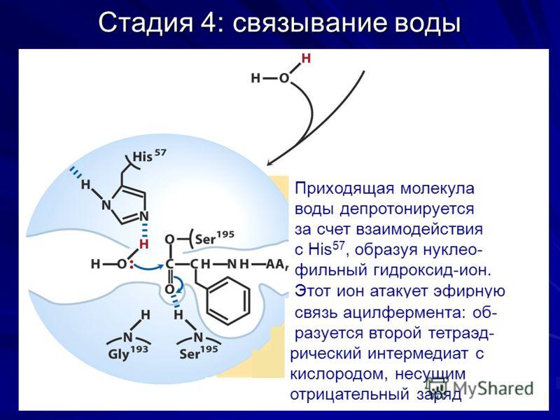 Стадия 4: связывание воды Приходящая молекула воды депротонируется за счет взаимодействия с His 57, образуя нуклео- фильный гидроксид-ион. Этот ион атакует эфирную связь ацилфермента: об- разуется второй тетраэд- рический интермедиат с кислородом, не