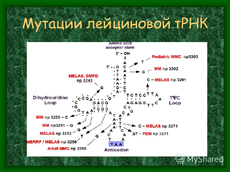 Мутации лейциновой тРНК