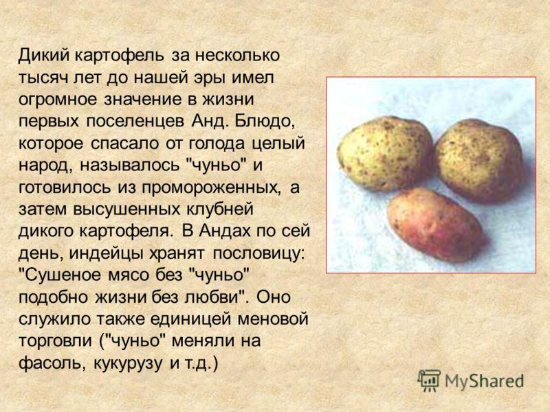 Дикий картофель за несколько тысяч лет до нашей эры имел огромное значение в жизни первых поселенцев Анд. Блюдо, которое спасало от голода целый народ, называлось