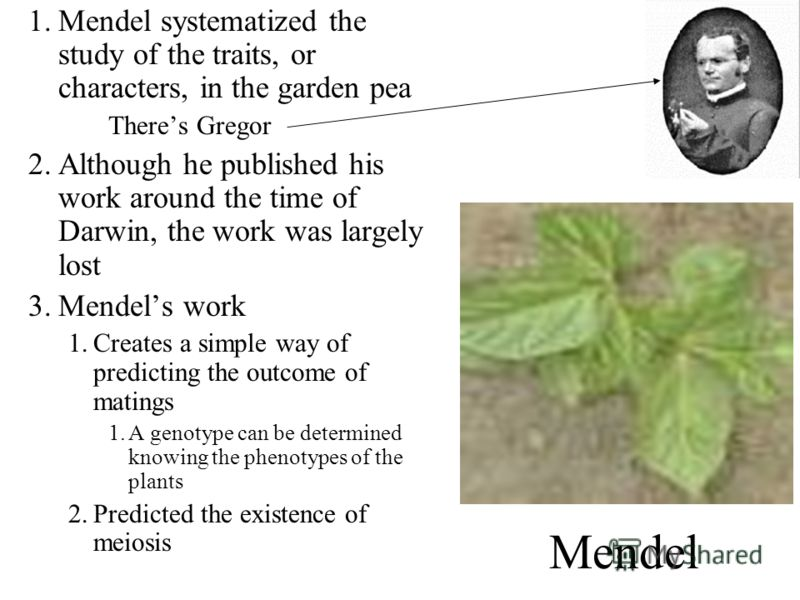 Mendel 1.Mendel systematized the study of the traits, or characters, in the garden pea Theres Gregor 2.Although he published his work around the time of Darwin, the work was largely lost 3.Mendels work 1.Creates a simple way of predicting the outcome