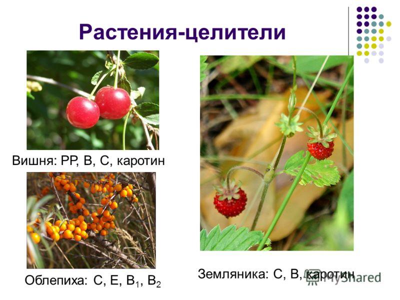 Растения-целители Вишня: РР, B, C, каротин Облепиха: С, Е, B 1, B 2 Земляника: С, B, каротин