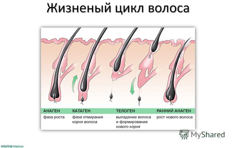 Жизненый цикл волоса
