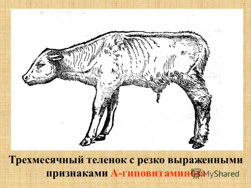 Трехмесячный теленок с резко выраженными признаками А-гиповитаминоза