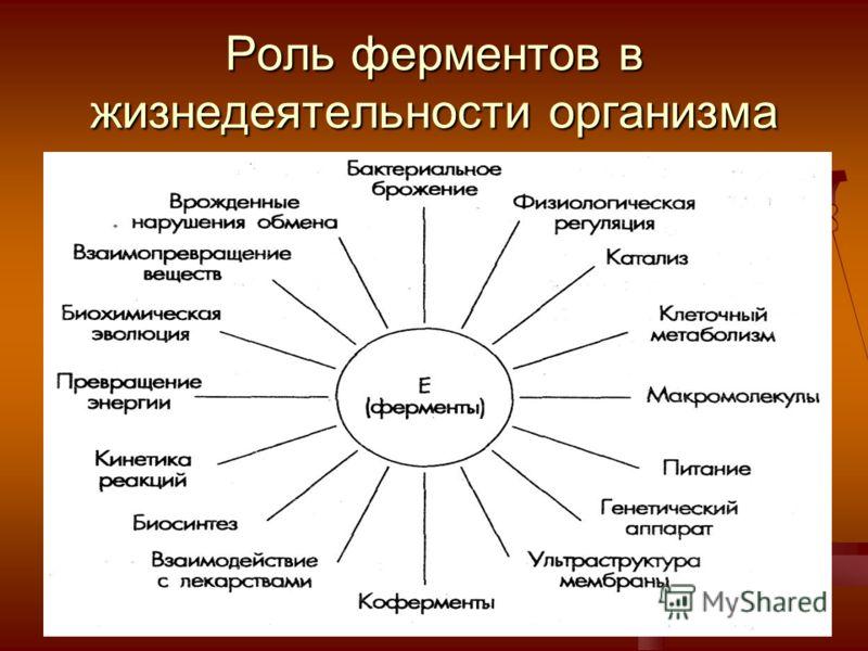 Роль ферментов в жизнедеятельности организма