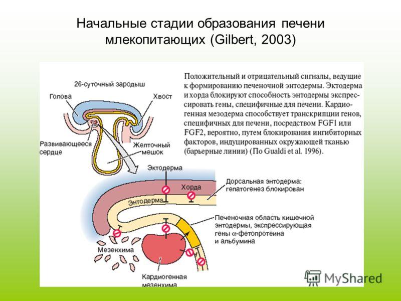 Начальные стадии образования печени млекопитающих (Gilbert, 2003)