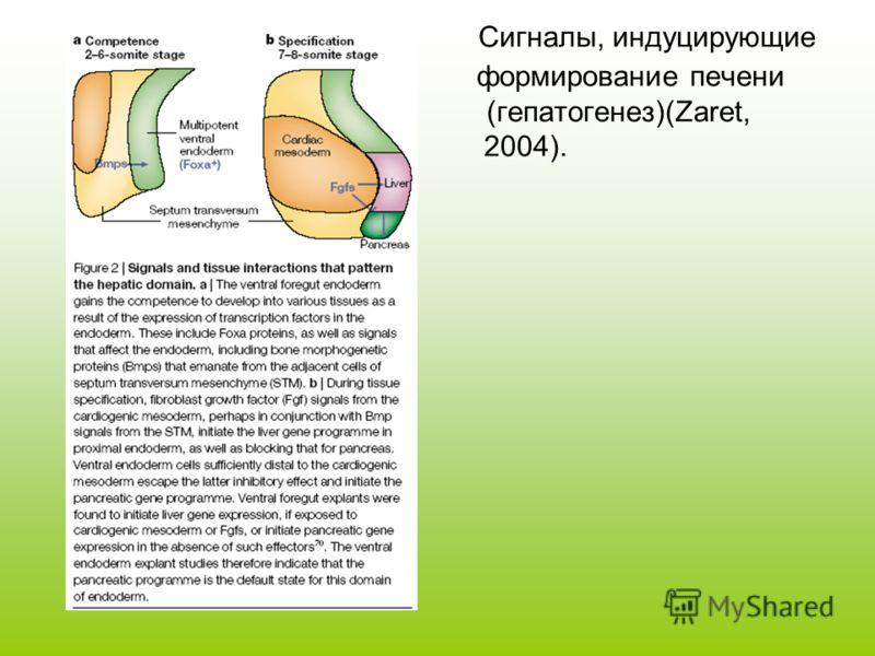 Сигналы, индуцирующие формирование печени (гепатогенез)(Zaret, 2004).